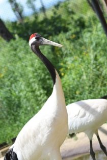 Red-crowned crane in far eastern Russia